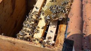 Récupération d'abeille avec Louis Néau Dans une cheminée  chez sa voisine