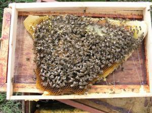 Village de Bruch dans le 47 deux colonies d'abeilles