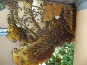 Rue Henri DESCOINS Agen colonie d'abeille dans le compteur d'eau 9 mai 2011