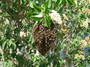 Récupération d'un essaim d'abeilles par Anne et Daniel à la Préfecture d'AGEN le 26 avril 2011
