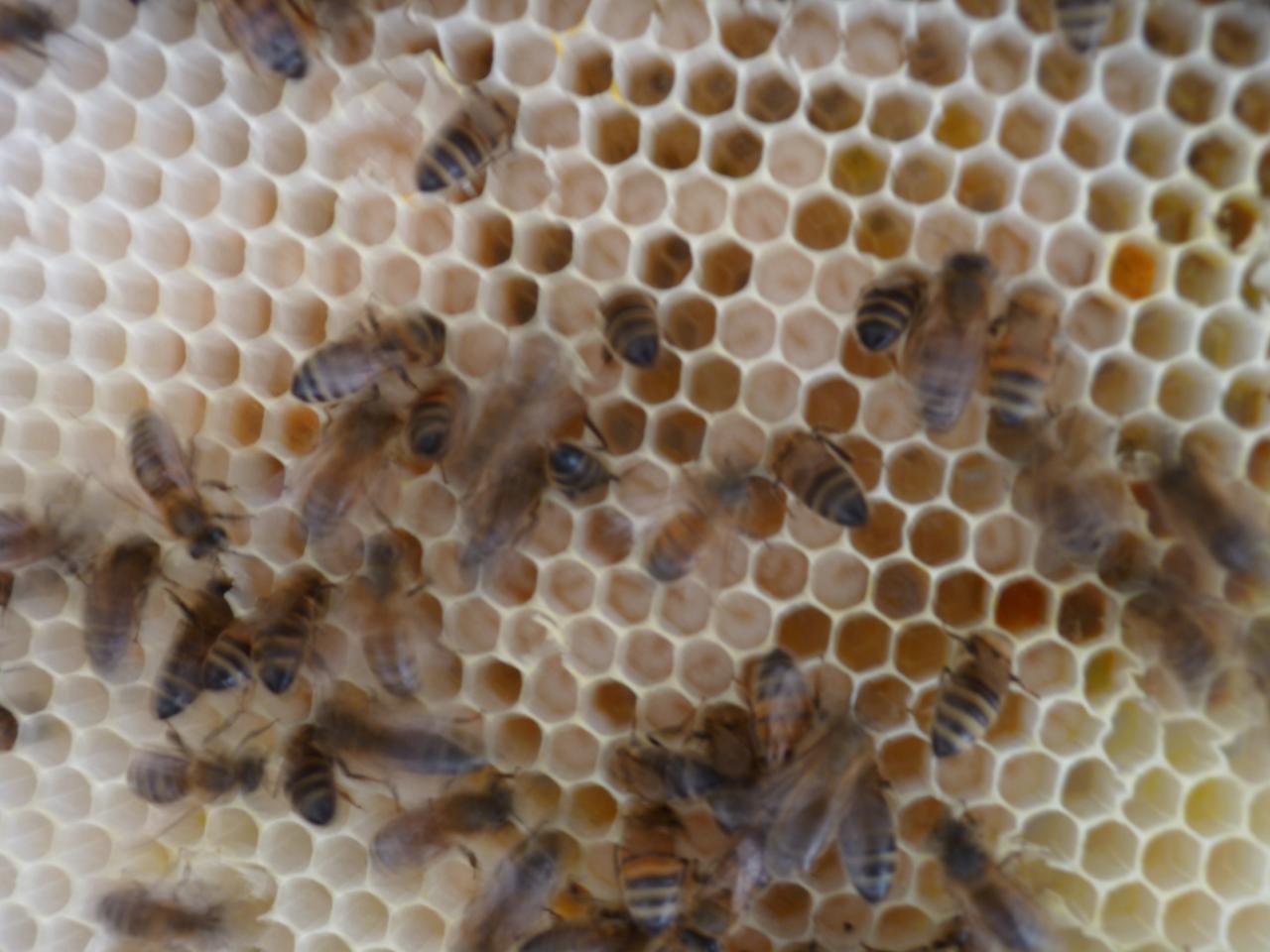 Couvain ainsi que du pollen pour l'élevage des larves.jpg