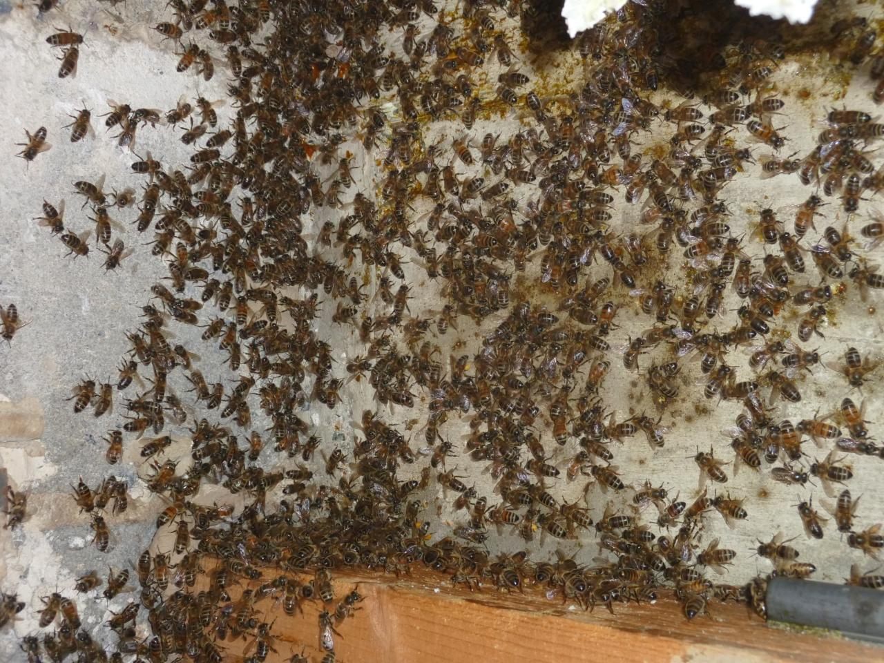 L'empleur de la colonie d'abeille.jpg